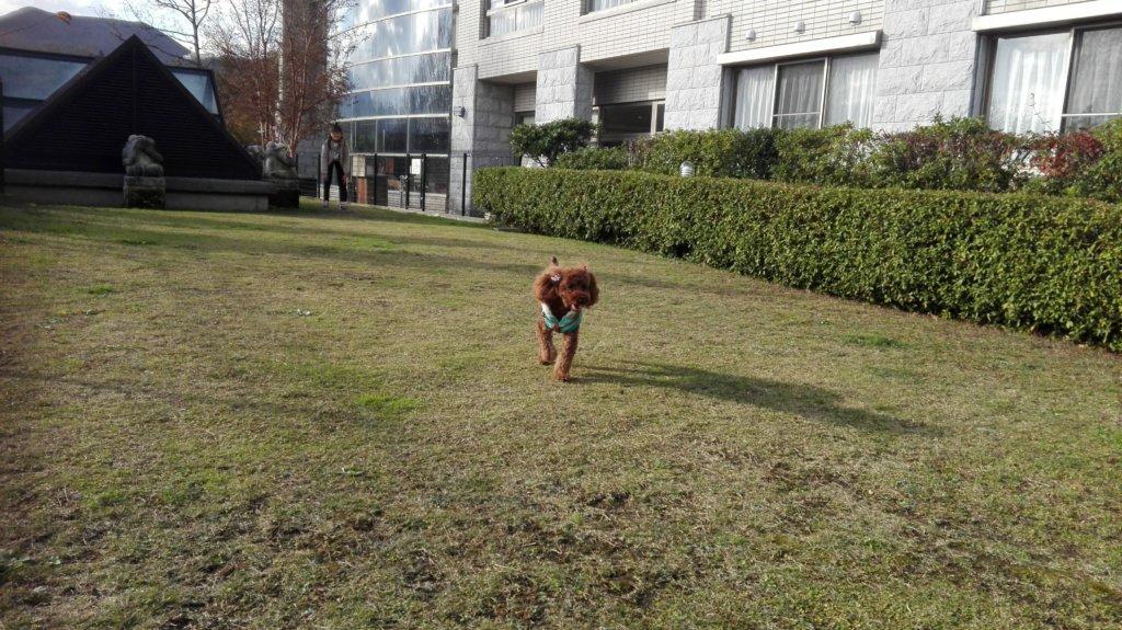 愛犬お宿の広い屋外ドッグランを嬉しそうに走るポポ