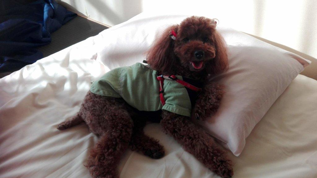 愛犬お宿の犬用作務衣でくつろぐポポ
