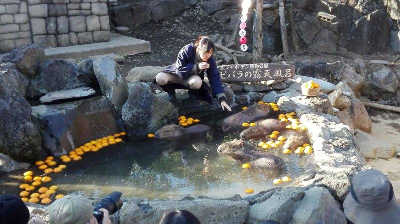 伊豆シャボテン動物公園の元祖カピバラの露天風呂イベント