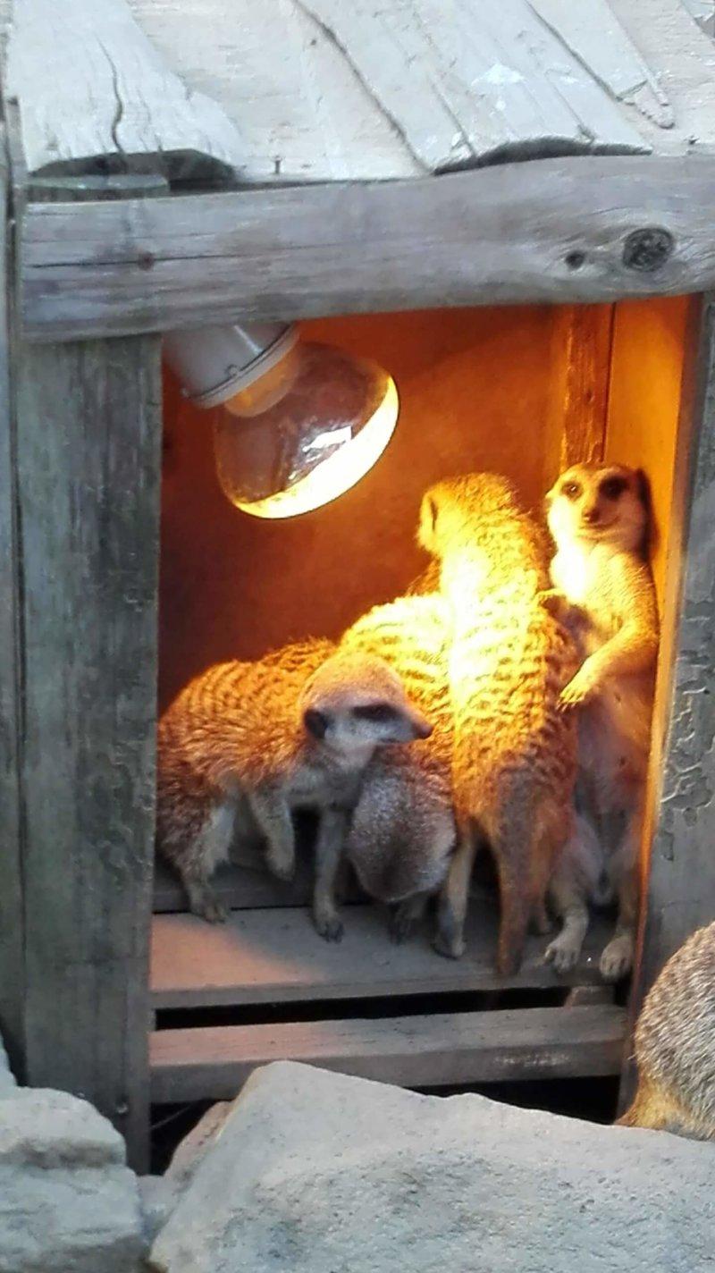 伊豆シャボテン動物公園の寒がりなミーアキャット達
