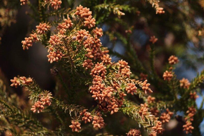 スギ花粉のイメージ写真